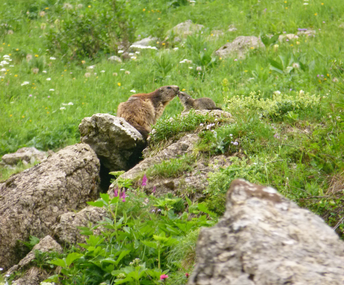 Une marmotte avec son petit en Savoie.